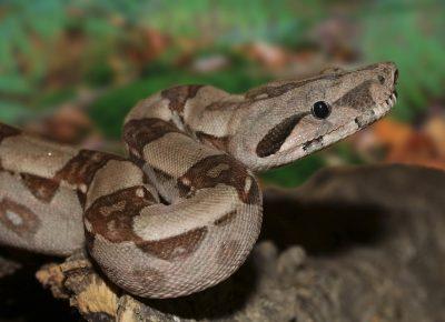 emperor-snake-501569_960_720