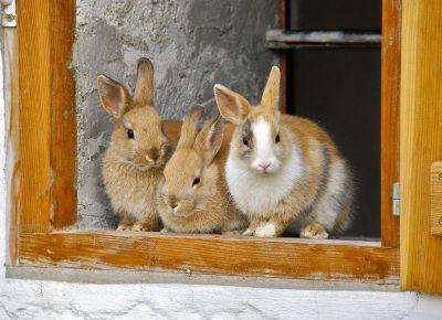 rabbit-2409186_960_720