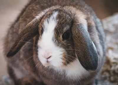 rabbit-3712339_960_720