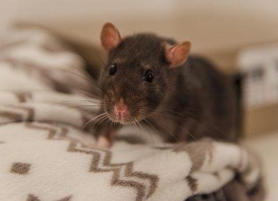 rat-4100757_960_720
